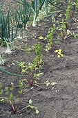 Celery 'A cotes rouges' seedlings in a kitchen garden