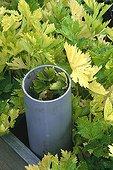 Whitening of celery 'Géant doré amélioré'