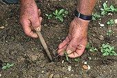 Clearing up dandelions 'Vert de Montmagny amélioré'