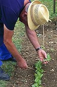 Clearing up of chicory seedlings in a kitchen garden