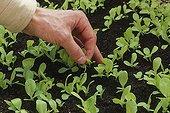 Clearing up of lettuces 'Gotte jaune d'or' under cold frame