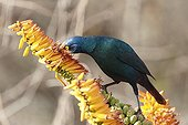 Greater Blue-eared Glossy-starling in the Kruger NP