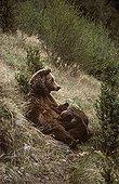 Female brown bear nursing her cubs Spain