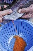 Extraction des oeufs d'une Truite arc-en-ciel d'élevage