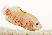 Cichlidé oeil de boeuf en studio sur le fond blanc ; Espèce de poissons d'eau douce d'Amérique du Sud