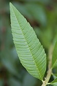 Lemon beebrush's leaf in a garden