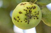 Apple scap on an apple in a garden