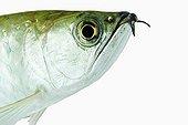 Portrait d'un poisson carnivore d'eau douce tropicale ; Asie et Océanie, nord de l'Australie et la Nouvelle-Guinée