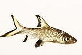Barbeau à tête noire ; Également connu sous le nom de requin argenté. Espèces de poissons d'eau douce Asie du sud-est