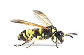 Close up of a Sawfly in studio