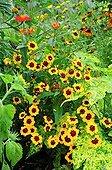 French marigolds 'Naughty Marieta' in bloom in a garden