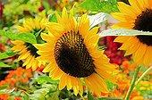 Sunflower 'Hallo' in bloom in a garden