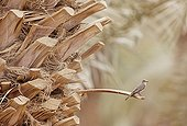 Spotted Flycatcher on palm trunk Israel