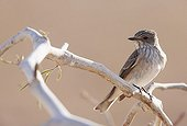 Spotted Flycatcher on a branch Israel