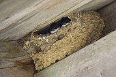 House Martins at nest Norway