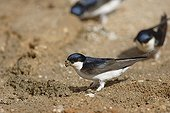 House Martins taking mud for the nest Spain