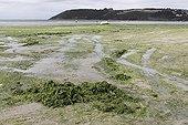 Green algae in the bay of Saint-Brieuc Côtes-d'Armor