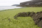 Green algae in the bay of Saint-Brieuc France