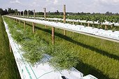 Soilless cultivation substrate with dill on a farm Yveline