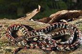 Checkerbelly French Guiana