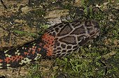Portrait of Checkerbelly French Guiana