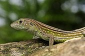 Rainbow whiptail lizard French guiana