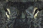 Glance of American Alligator