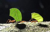 Leaf-cutter ants carrying leaves Bolivia