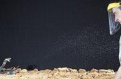 Black-necked spitting cobra spitting