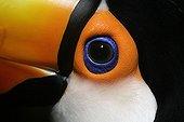 Oeil de Toucan Toco Brésil