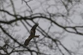Northern Harrier hunting over the meadows Meuse