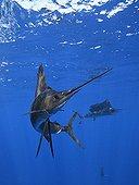 Atlantic Sailfish feeding on Sardine Gulf of Mexico Mexico