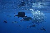 Atlantic Sailfishes feeding on Sardine Gulf of Mexico Mexico