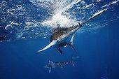 Striped Marlin feeding on Pacific Sardine Gulf of Mexico