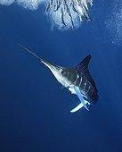 Striped Marlin feeding on Pacific Sardines Baja California