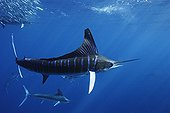 Striped Marlins feeding on Pacific Sardines Baja California