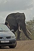Tourist photographing an Elephant in car Kruger Park