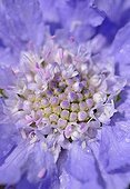 Field scabiosa in bloom