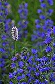 Bistorte et Viprines en fleur