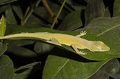 Leopard Anole on a leaf  French Guiana