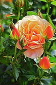 Rose in bloom and in bud in a garden