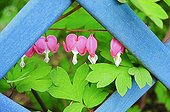 Common bleedinghearts in bloom on a pergola
