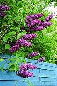 Lilac 'Souvenir de Louis Spaeth' in bloom in a garden