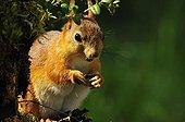 Eurasian Red squirrel eating Martinselkonen Finland