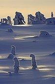 Sapins sous la neige au crépuscule PN de Riisitunturi
