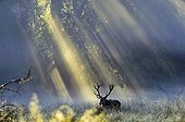 Male red deer and rays of sun Dyrehaven Denmark