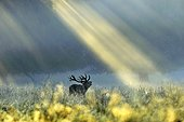 "Red Deer stag roaring under sunlight Denmark ; Wildlife Photographer of the Year 2010<br>Animals in their Environment - Highly Commended<br>""Dawn call"""