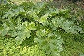 Acanthus spring in the garden Hanbury Italy