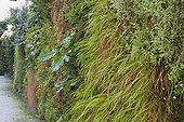 Vertical garden with hakone grass and acanthus