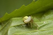 Ichneumon larva parasitizing a spider France